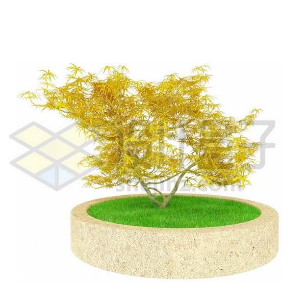 花盆里的黄金枫树盆栽159041psd/png图片素材