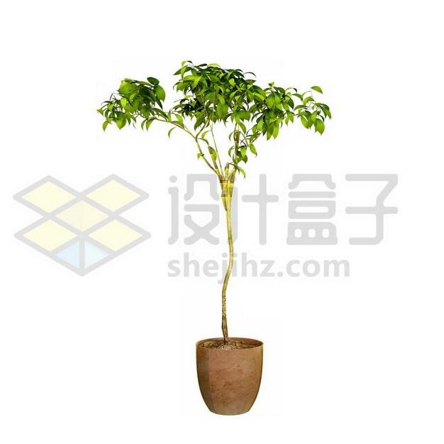 花盆里的平安树盆栽842722psd/png图片素材 生物自然-第1张