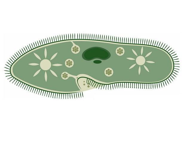 草履虫结构489934png图片素材 生物自然-第1张