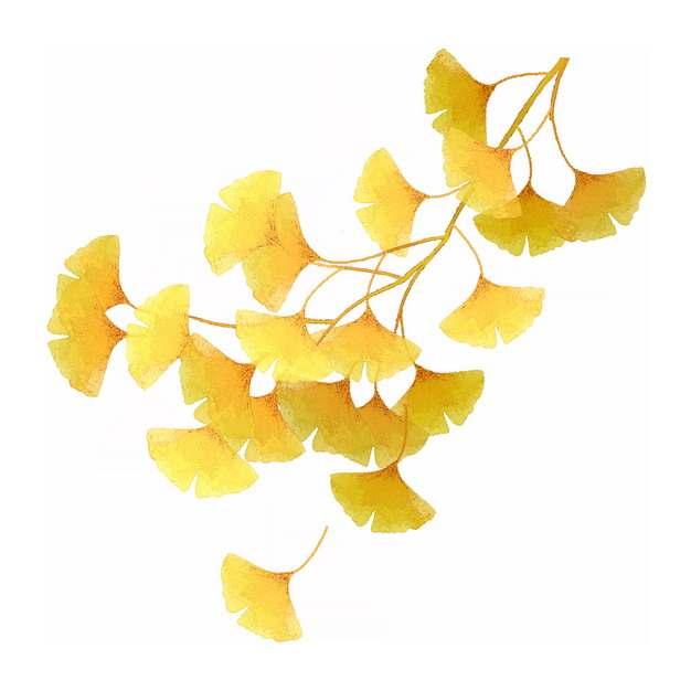 秋天金黄色的银杏树叶767445png图片素材