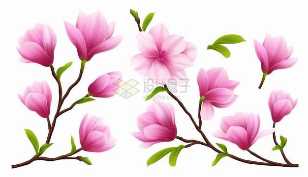 各种粉红色的玉兰花鲜花花朵花卉png图片素材