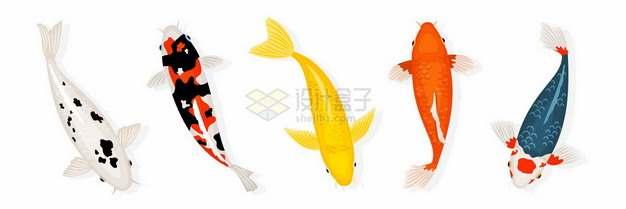 5条漂亮的彩色鲤鱼锦鲤743042png矢量图片素材
