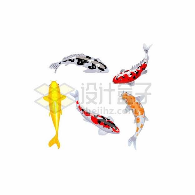 5条游泳的彩色鲤鱼锦鲤105505png矢量图片素材