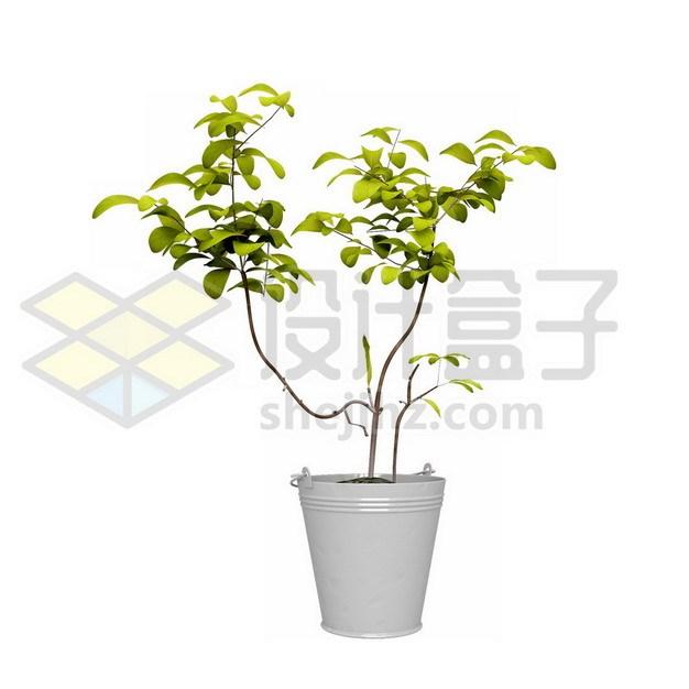 花盆里的幸福树盆栽204753psd/png图片素材 生物自然-第1张