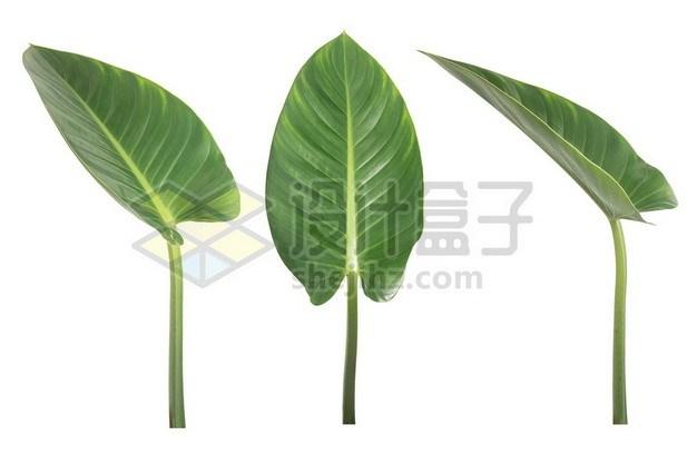 3个不同角度的芋头叶子420455psd/png图片素材 生物自然-第1张