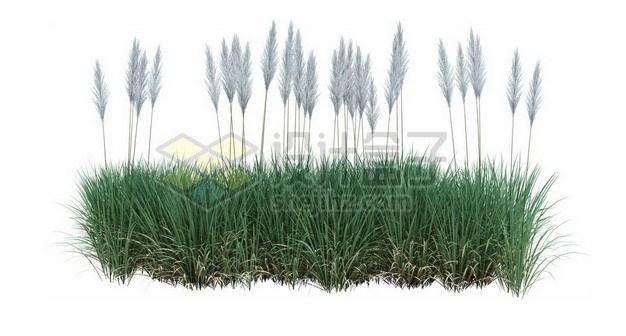 狼尾草草丛257024psd/png图片素材 生物自然-第1张