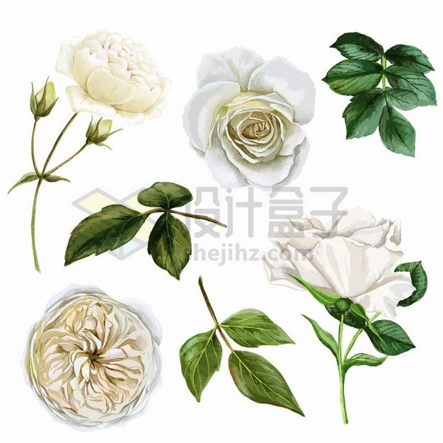 盛开的白色玫瑰花白玫瑰花朵鲜花绿叶和花卉png图片素材 生物自然-第1张