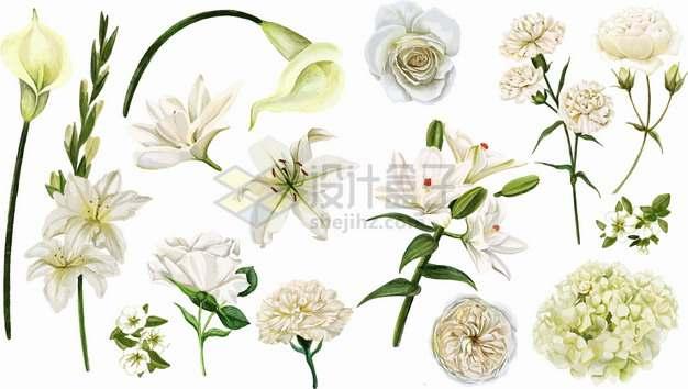 马蹄莲含笑花水仙花百合花玉兰花白玫瑰等白色花朵鲜花彩绘插画png图片素材