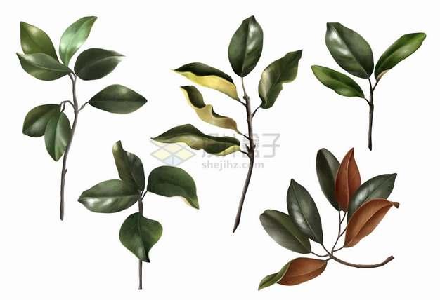 5款逼真的木兰花叶子树叶png图片素材