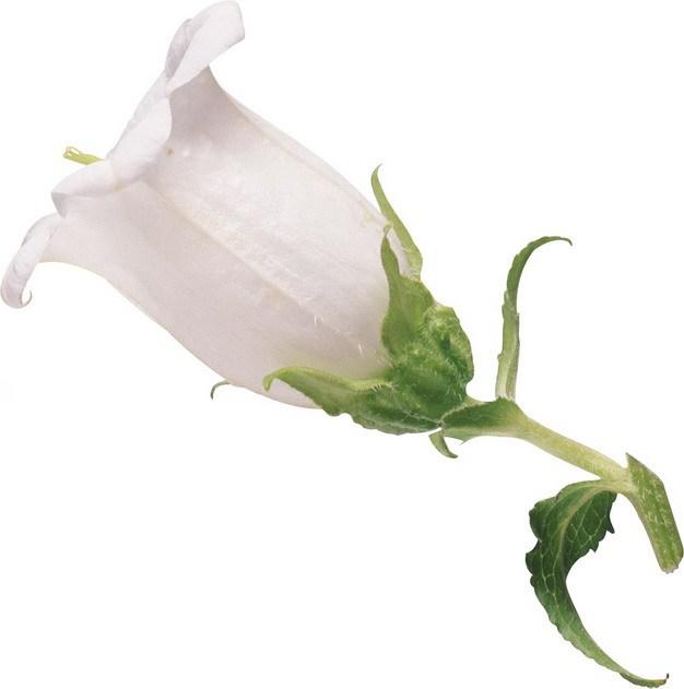 曼陀罗花白色花朵774117png图片素材\r\n 生物自然-第1张
