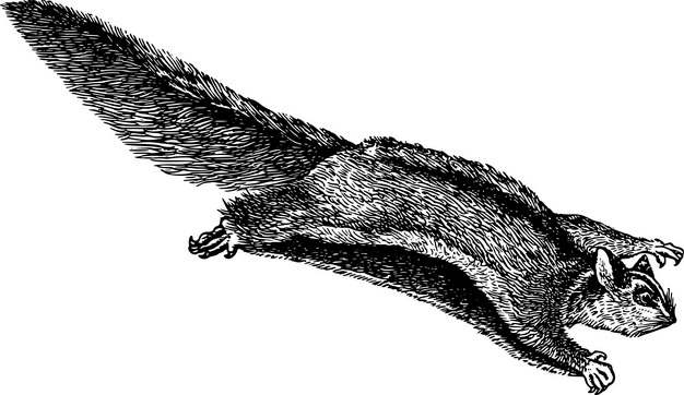 寒号鸟复齿鼯鼠手绘插画519531png图片素材