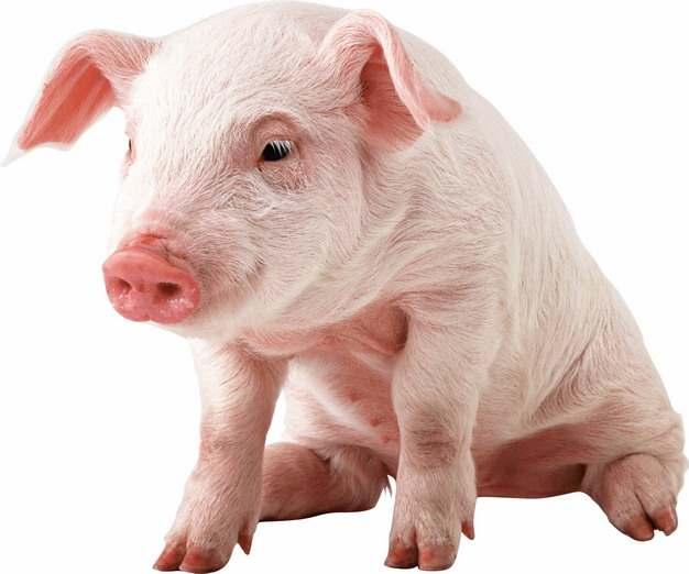 坐着的可爱家猪小猪大白猪127550png图片素材