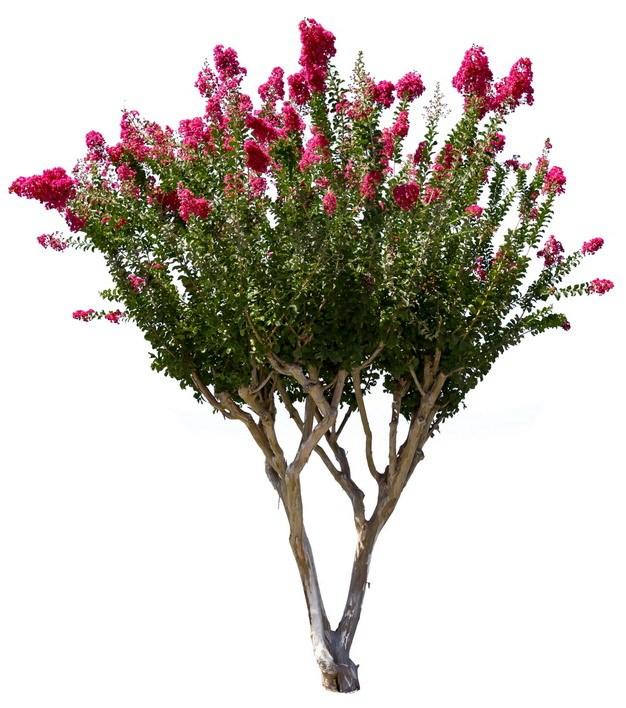 开满红色花朵的紫薇树891990png图片素材 生物自然-第1张