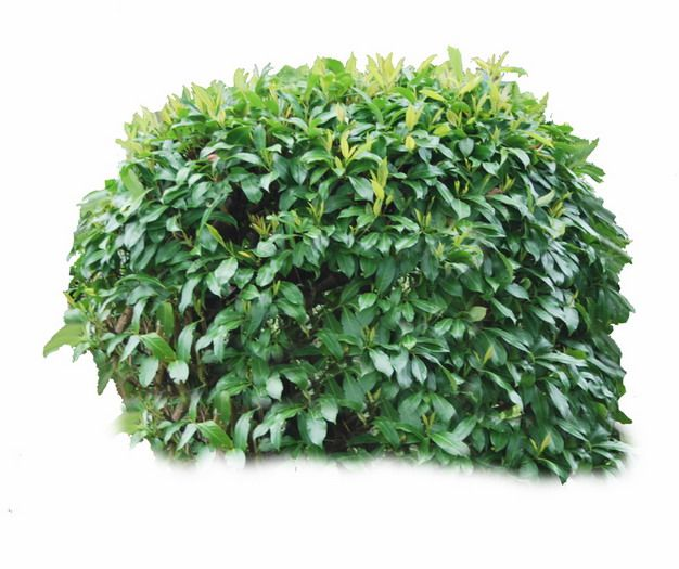 绿树黄杨树285810png图片素材