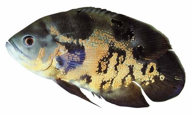 美丽的地图鱼486517png图片素材