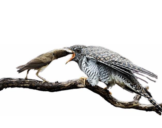 被亲鸟喂食的杜鹃布谷鸟922786png图片素材 生物自然-第1张