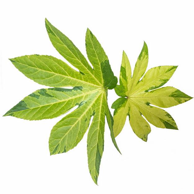 八角金盘树叶796028png图片素材 生物自然-第1张