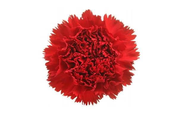 大红色的石竹花122656png图片素材