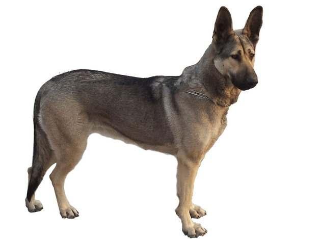 狼青犬宠物狗367855png图片素材