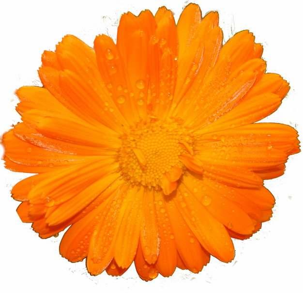 一朵金黄色的金盏菊花朵鲜花536157png免抠图片素材