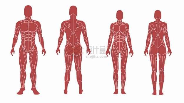 4款男性女性人体肌肉组织人体结构图png图片素材