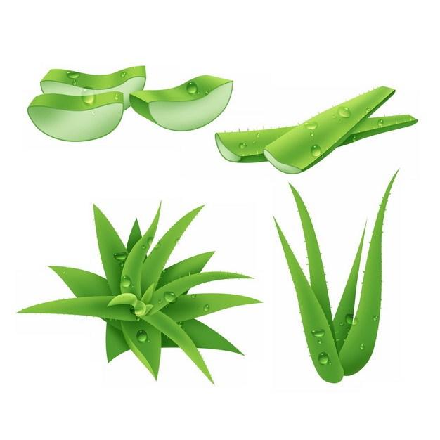 翠绿色的芦荟叶子和切段729060 png图片素材 生物自然-第1张