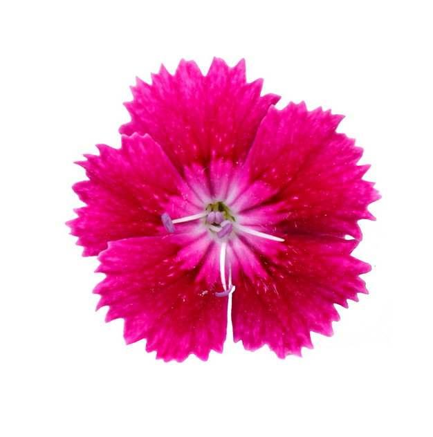 红色的石竹花236947png图片素材