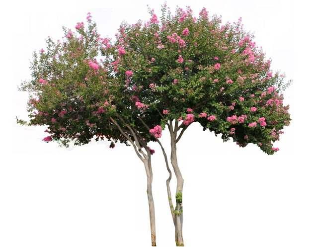 开满红色花朵的紫薇树393254png图片素材