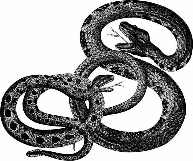 两条乌梢蛇毒蛇957761png图片素材