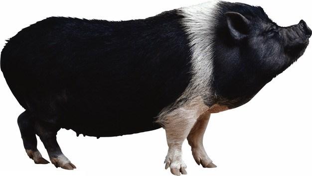 一只黑猪家猪401875png图片素材 生物自然-第1张