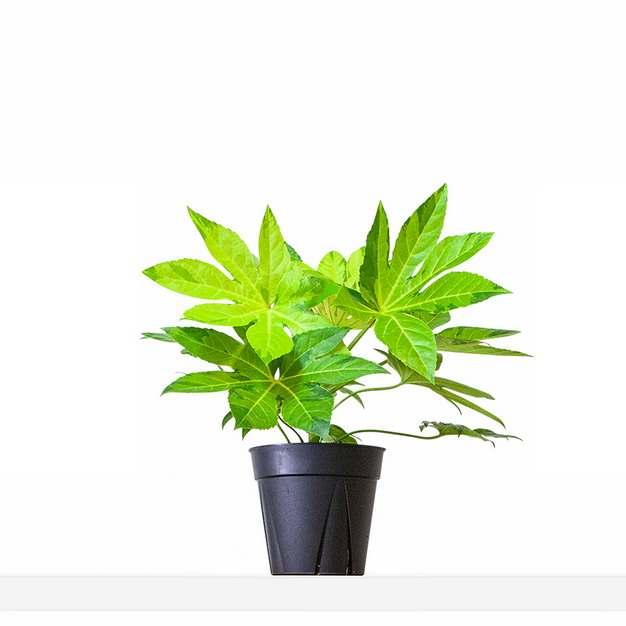 八角金盘盆栽401112png图片素材