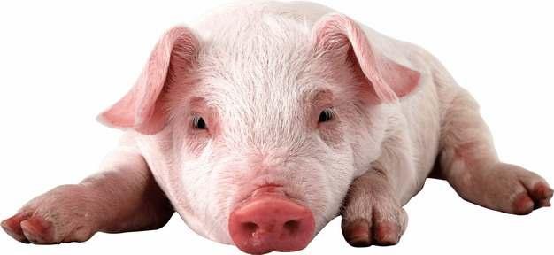 趴着的可爱家猪小猪大白猪499614png图片素材