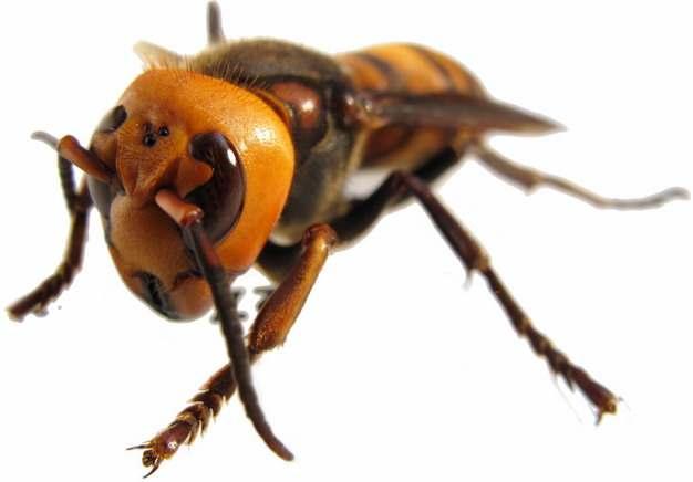 高清特写大黄蜂马蜂215713png免抠图片素材