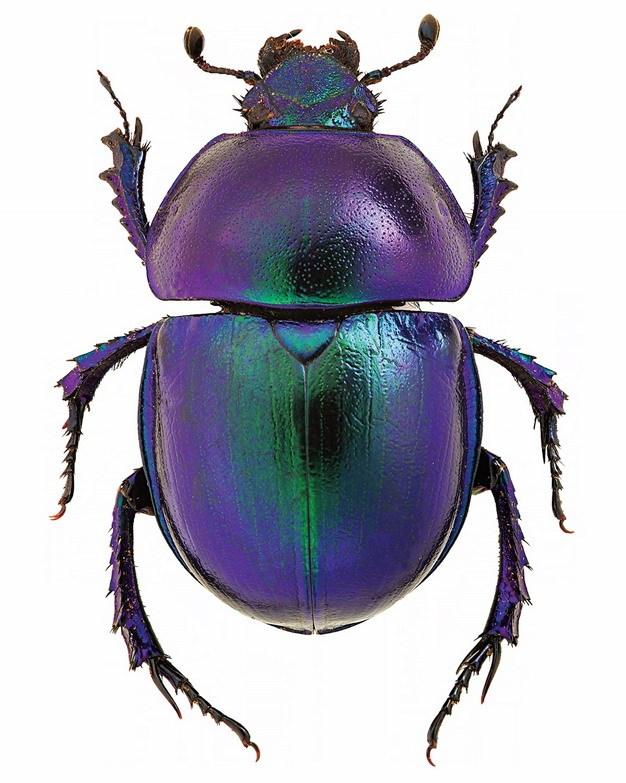 蜣螂屎壳郎昆虫308651png图片素材 生物自然-第1张