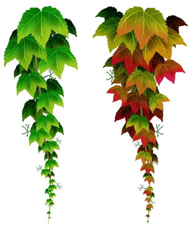 两条下垂的爬山虎藤蔓811744png图片素材 生物自然-第1张