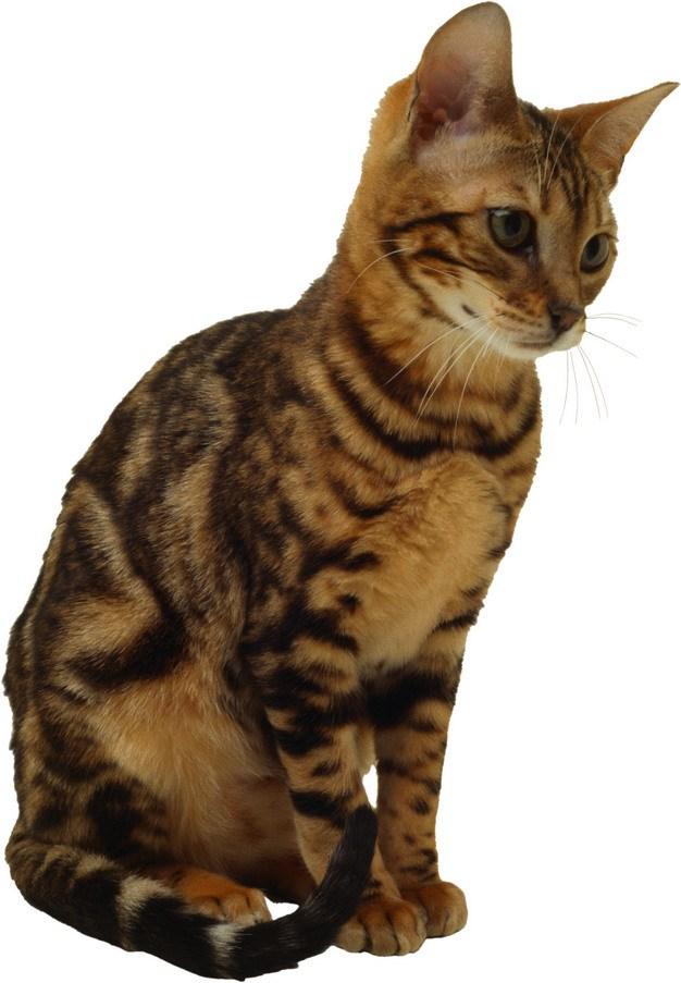 瘦瘦的虎斑猫中华田园猫398331png图片素材 生物自然-第1张