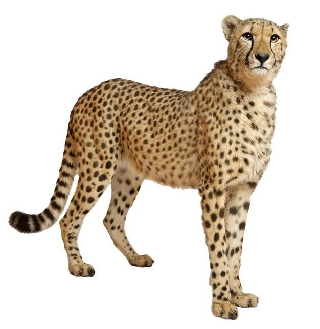 站立的猎豹大型猫科动物346124png图片素材 生物自然-第1张