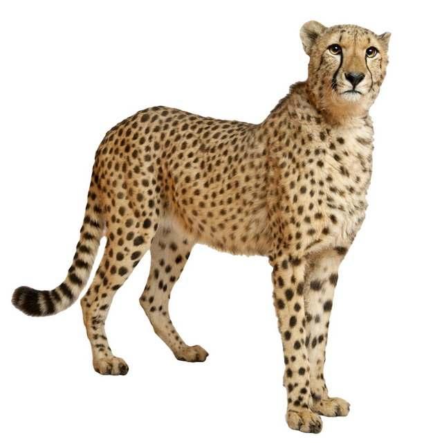 站立的猎豹大型猫科动物346124png图片素材