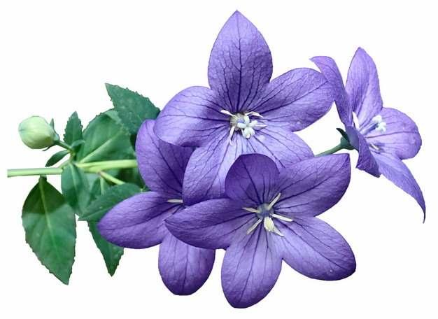 桔梗花铃铛花紫色花卉471956png免抠图片素材