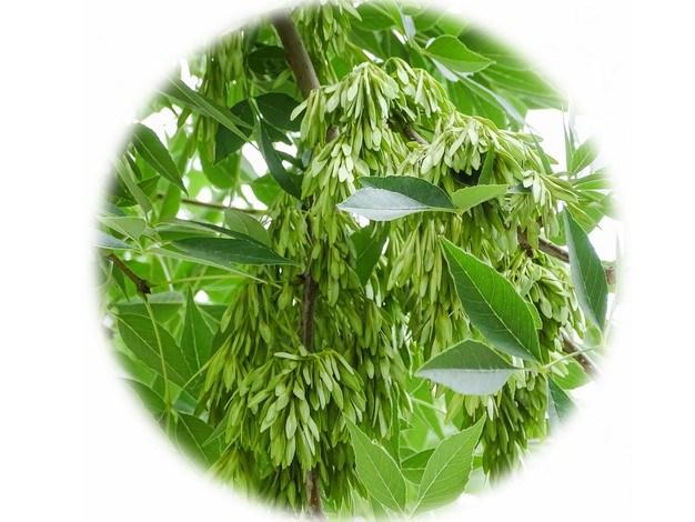 开满花的白蜡树100083png图片素材 生物自然-第1张
