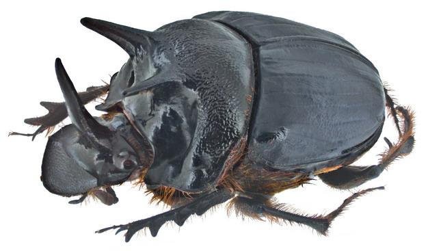蜣螂屎壳郎昆虫554481png图片素材 生物自然-第1张