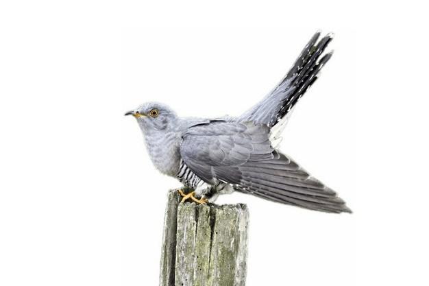 站在木桩上的杜鹃布谷鸟378345png图片素材 生物自然-第1张