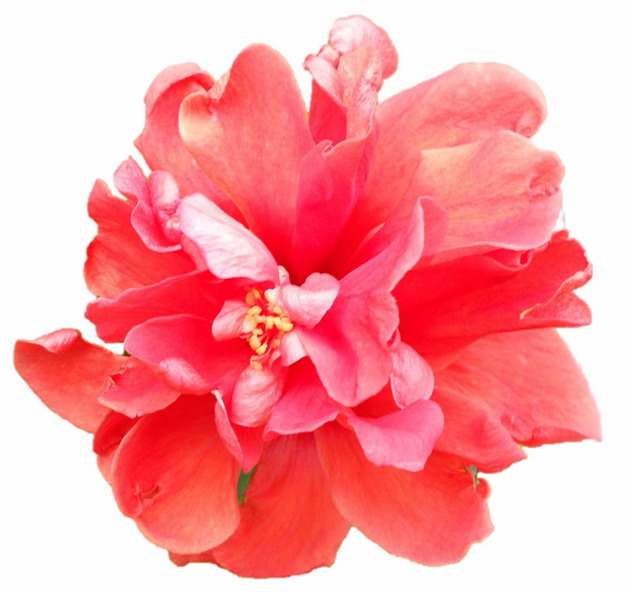 芍药花红色花朵鲜花358912png图片素材