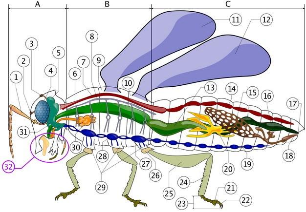 一只昆虫的身体结构图582582png图片素材 生物自然-第1张
