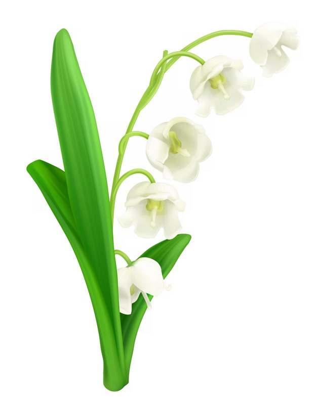 铃兰花白色小花朵888131png图片素材