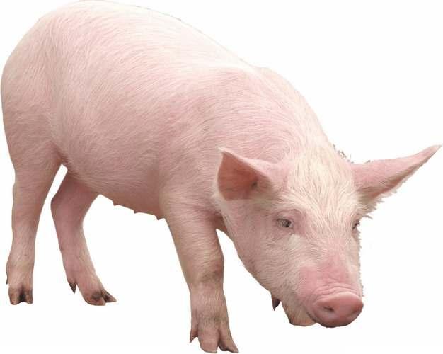 可爱的家猪小猪大白猪808573png图片素材