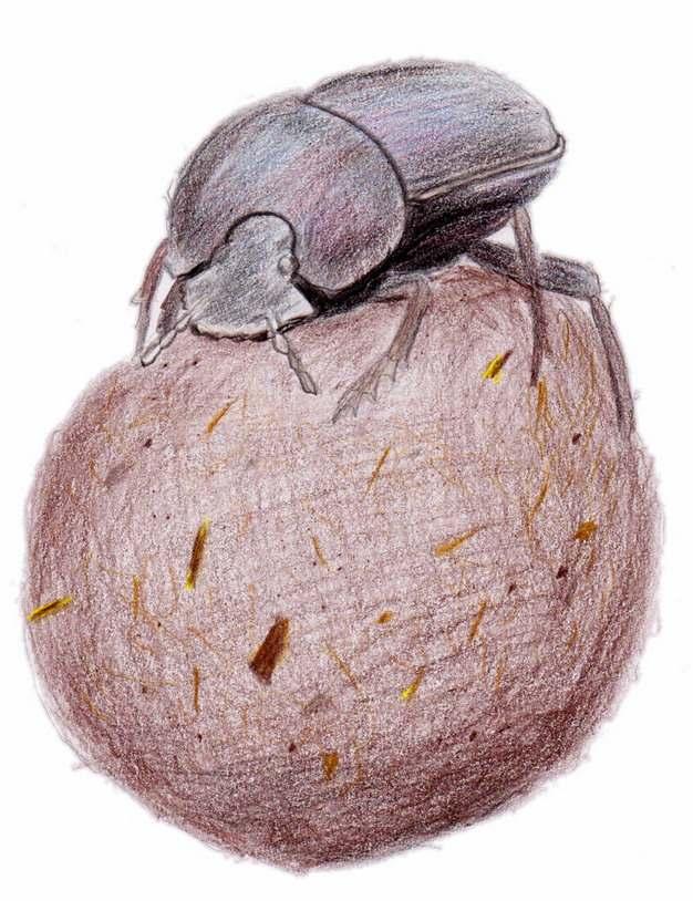 蜣螂虫推粪球的屎壳郎昆虫手绘插画887041png图片素材