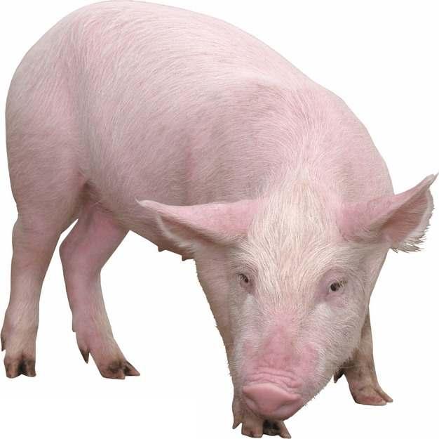 可爱的家猪小猪大白猪332331png图片素材