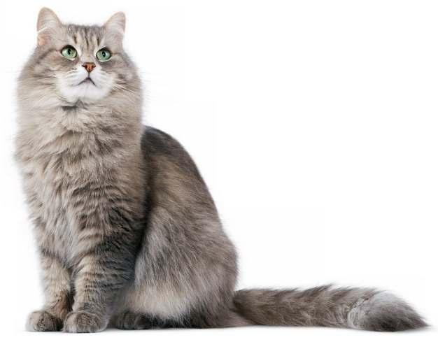 可爱的长毛猫咪缅因猫876472png图片素材