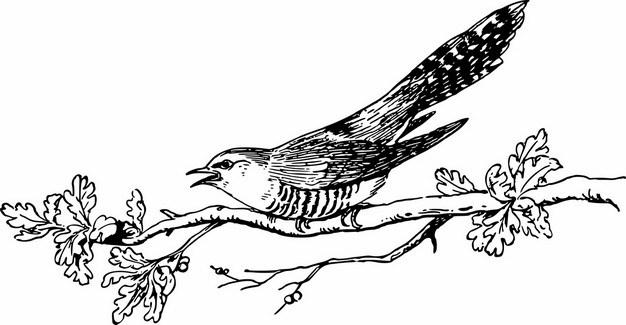 杜鹃布谷鸟手绘插画744806png图片素材 生物自然-第1张